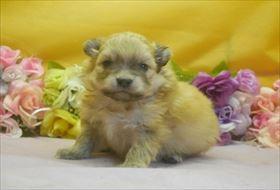 ポメラニアンの子犬(ID:1246711645)の1枚目の写真/更新日:2016-12-07