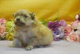 ポメラニアンの子犬(ID:1246711645)の2枚目の写真/更新日:2016-12-07