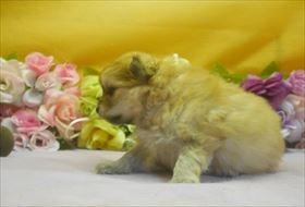 ポメラニアンの子犬(ID:1246711645)の3枚目の写真/更新日:2016-12-07