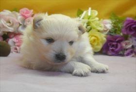 ポメラニアンの子犬(ID:1246711646)の1枚目の写真/更新日:2016-12-07