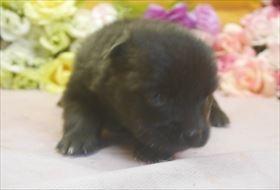 ポメラニアンの子犬(ID:1246711651)の1枚目の写真/更新日:2016-12-07