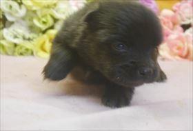 ポメラニアンの子犬(ID:1246711651)の2枚目の写真/更新日:2016-12-07