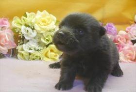 ポメラニアンの子犬(ID:1246711651)の3枚目の写真/更新日:2016-12-07