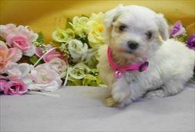 マルチーズの子犬(ID:1246711661)の1枚目の写真/更新日:2018-06-12