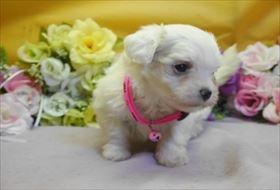 マルチーズの子犬(ID:1246711661)の2枚目の写真/更新日:2018-06-12