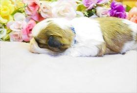狆(チン)の子犬(ID:1246711662)の2枚目の写真/更新日:2019-04-02