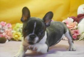 フレンチブルドッグの子犬(ID:1246711663)の1枚目の写真/更新日:2016-12-26