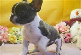 フレンチブルドッグの子犬(ID:1246711663)の2枚目の写真/更新日:2016-12-26