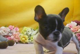 フレンチブルドッグの子犬(ID:1246711663)の3枚目の写真/更新日:2016-12-26