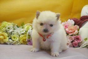 ポメラニアンの子犬(ID:1246711664)の2枚目の写真/更新日:2017-01-04