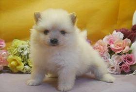ポメラニアンの子犬(ID:1246711665)の1枚目の写真/更新日:2017-01-04