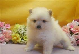 ポメラニアンの子犬(ID:1246711665)の2枚目の写真/更新日:2017-01-04
