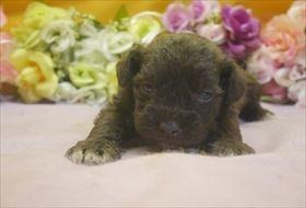 ミニチュアシュナウザーの子犬(ID:1246711668)の1枚目の写真/更新日:2017-01-04