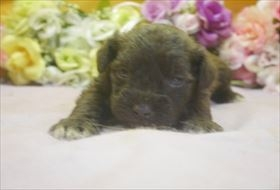 ミニチュアシュナウザーの子犬(ID:1246711668)の2枚目の写真/更新日:2017-01-04