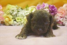 ミニチュアシュナウザーの子犬(ID:1246711668)の3枚目の写真/更新日:2017-01-04