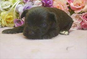 ミニチュアシュナウザーの子犬(ID:1246711670)の2枚目の写真/更新日:2017-01-04