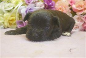 ミニチュアシュナウザーの子犬(ID:1246711670)の3枚目の写真/更新日:2017-01-04