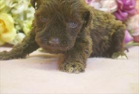 ミニチュアシュナウザーの子犬(ID:1246711671)の3枚目の写真/更新日:2017-01-04