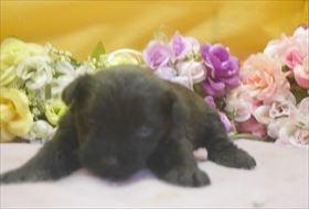 ミニチュアシュナウザーの子犬(ID:1246711672)の1枚目の写真/更新日:2017-01-04