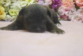 ミニチュアシュナウザーの子犬(ID:1246711672)の3枚目の写真/更新日:2017-01-04