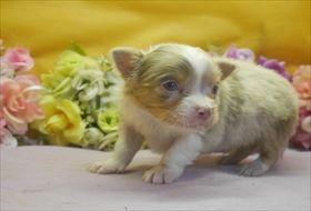 チワワ(ロング)の子犬(ID:1246711673)の1枚目の写真/更新日:2017-01-16