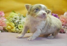 チワワ(ロング)の子犬(ID:1246711673)の3枚目の写真/更新日:2017-01-16