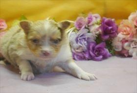 チワワ(ロング)の子犬(ID:1246711674)の1枚目の写真/更新日:2017-01-16