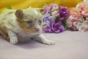 チワワ(ロング)の子犬(ID:1246711674)の3枚目の写真/更新日:2017-01-16