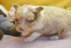 チワワ(ロング)の子犬(ID:1246711674)の4枚目の写真/更新日:2017-01-16