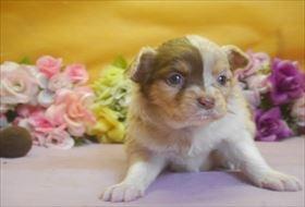 チワワ(ロング)の子犬(ID:1246711675)の1枚目の写真/更新日:2017-01-16