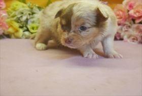 チワワ(ロング)の子犬(ID:1246711675)の2枚目の写真/更新日:2017-01-16