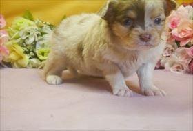 チワワ(ロング)の子犬(ID:1246711675)の3枚目の写真/更新日:2017-01-16