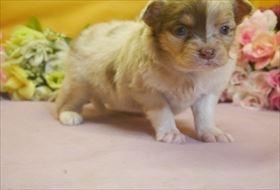 チワワ(ロング)の子犬(ID:1246711675)の4枚目の写真/更新日:2017-01-16