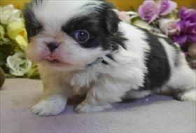 狆(チン)の子犬(ID:1246711677)の1枚目の写真/更新日:2017-01-16