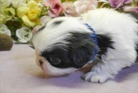 狆(チン)の子犬(ID:1246711677)の2枚目の写真/更新日:2019-04-02