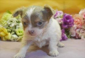 チワワ(ロング)の子犬(ID:1246711678)の1枚目の写真/更新日:2017-01-24