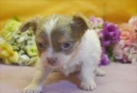 チワワ(ロング)の子犬(ID:1246711678)の2枚目の写真/更新日:2017-01-24