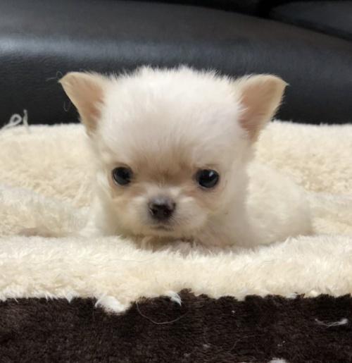 チワワ(ロング)の子犬(ID:1246711679)の1枚目の写真/更新日:2019-11-06