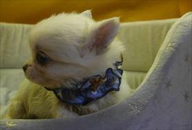 チワワ(ロング)の子犬(ID:1246711679)の2枚目の写真/更新日:2017-01-24