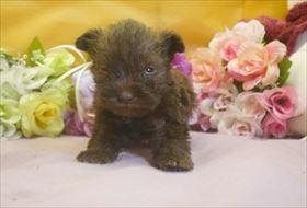 ミニチュアシュナウザーの子犬(ID:1246711680)の1枚目の写真/更新日:2017-01-24