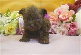 ミニチュアシュナウザーの子犬(ID:1246711680)の3枚目の写真/更新日:2017-01-24
