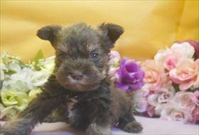 ミニチュアシュナウザーの子犬(ID:1246711681)の1枚目の写真/更新日:2017-01-24