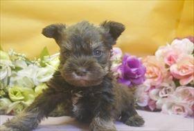 ミニチュアシュナウザーの子犬(ID:1246711681)の2枚目の写真/更新日:2017-01-24