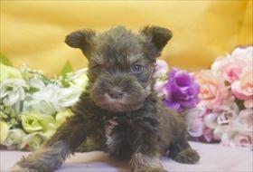 ミニチュアシュナウザーの子犬(ID:1246711681)の3枚目の写真/更新日:2017-01-24