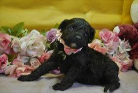 トイプードルの子犬(ID:1246711683)の1枚目の写真/更新日:2019-02-20