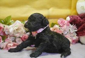 トイプードルの子犬(ID:1246711683)の2枚目の写真/更新日:2019-02-20