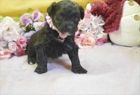 トイプードルの子犬(ID:1246711683)の3枚目の写真/更新日:2017-01-24