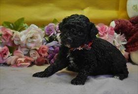 トイプードルの子犬(ID:1246711684)の1枚目の写真/更新日:2017-01-24