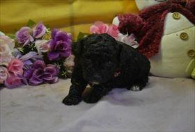 トイプードルの子犬(ID:1246711684)の2枚目の写真/更新日:2019-02-20
