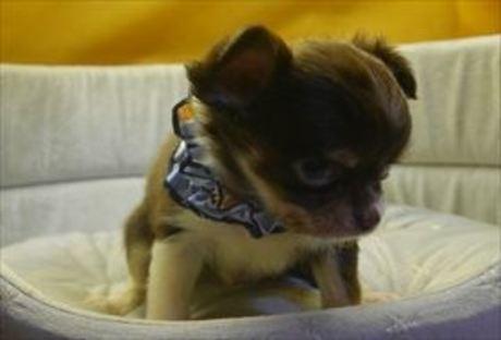 チワワ(ロング)の子犬(ID:1246711685)の2枚目の写真/更新日:2017-02-06